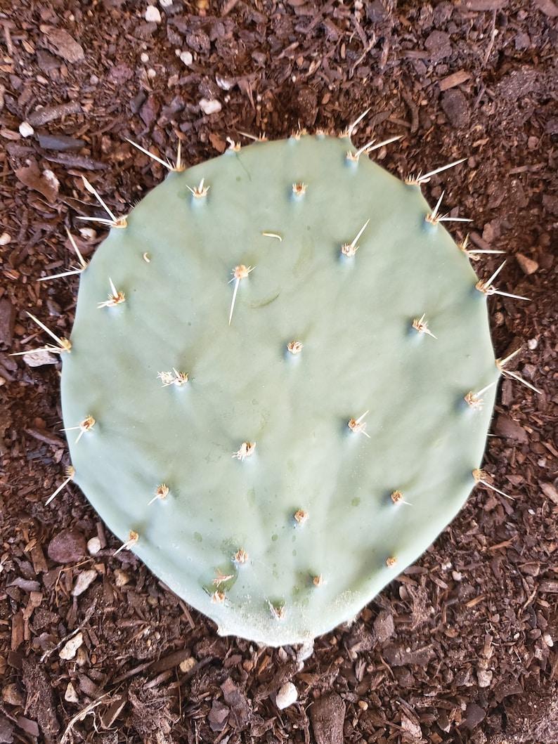 Opuntia robusta Prickly Pear Cactus Silver Dollar