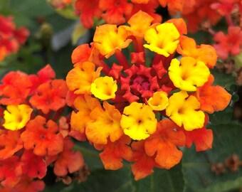 Lantana Plant Etsy