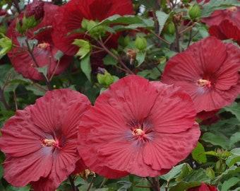 Hibiscus Plant Etsy