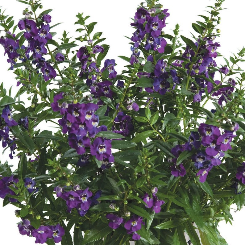 Big Blue Alonia Summer Snapdragon Angelonia Plant Etsy