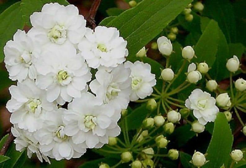 bridal wreath Spiraea van houteii starter plant