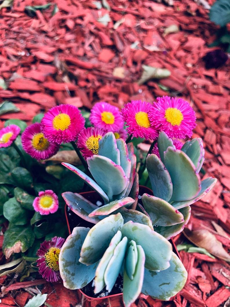 Succulents Live Plants Favors crassula ovata Jade Plant