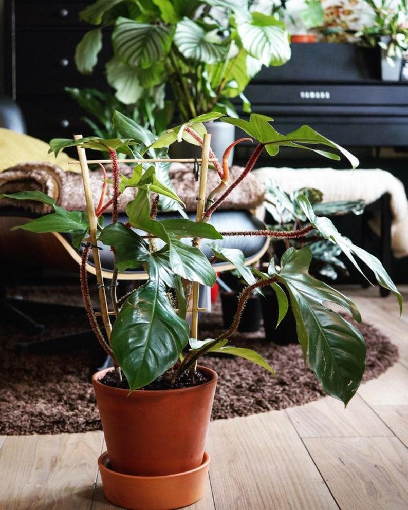 plant philodendron squamiferum rare hous eplant