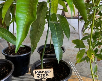 Live Mango Tree from Seed  6 inches - 2 feet tall