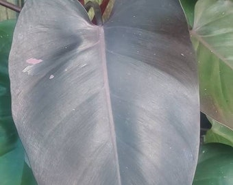Philodendron Pink Princess Single Leaf Cutting - Sellers Choice - REVERTED