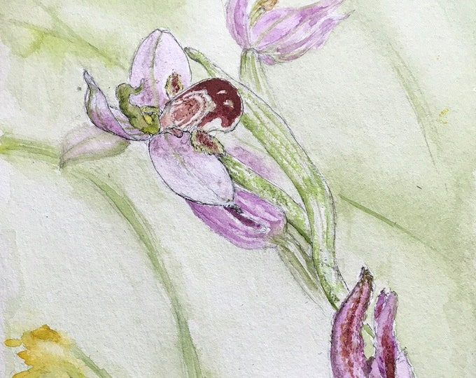 Original hand-painted watercolor, the wild orchid Orphis. For Mother's Day, birthday, Valentine's Day.