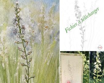 dessin numérique, ornithogalums pyrenaicum, fleur sauvages des bois