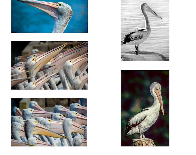 Australian Pelicans Series 1 A6 Note Card pack