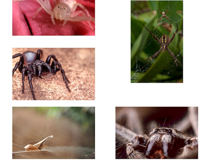 Australian Spiders A6 set of 5 Note Cards