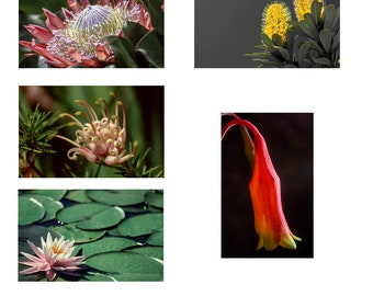 Australian Flower Note cards set of 5 A6