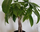 Money Tree Braid Pachirra Aquatica live plant in a 5 inch grower 39 s pot. Rare braided trunks planta para interior. Plantes d 39 intérieur.