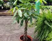 Money Tree Braid Pachira Aquatica Large live plant in 10 quot grower 39 s pot. Rare braided trunks. Planta buena suerte. Plantes d 39 intérieur.