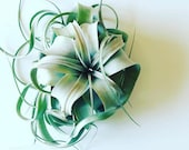 Xerographica, King, Queen of Air Plants, Simple and Modern Home Decor
