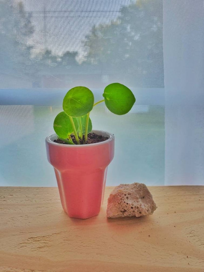 Adorable teeny tiny pilea plant and cute pot great for gift birthdays or holiday indoor plant fast growing money plant Chinese money plant