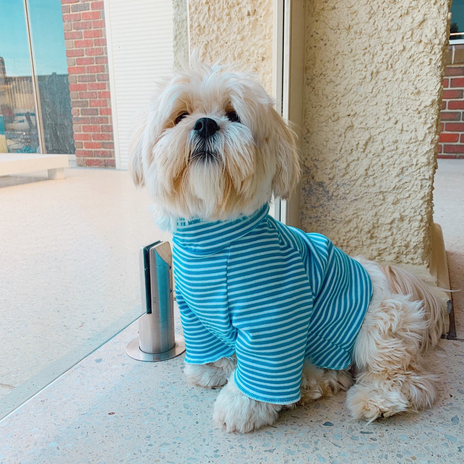 White dog posing in blue dog hoodie