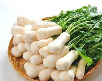 총각무, 알타리무 seeds (30+) Altari radish seeds AKA Bachelor radish
