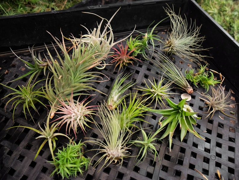 50 Air Plants Mixed Pack Clearance Air Succulent Party Etsy