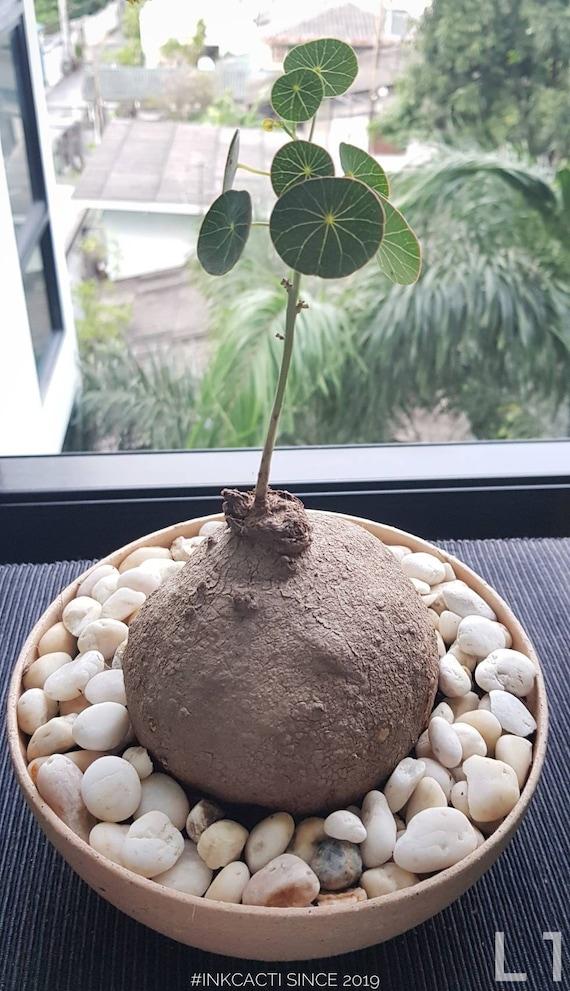 2 Bulbs Stephania Erecta Craib for sale Thai Herbs Awesome herb Rare Plant.
