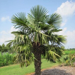 Chusan palm 100 seeds super fresh Trachycarpus /'Bulgaria/' cold hardy Windmill