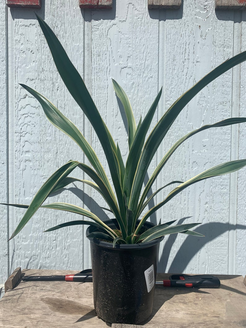 Yucca gloriosa /'Variegata/' Spanish Dagger COLD HARDY zone 6 Live plant!