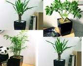1 Evergreen Indoor Plant Gloss Black Milano Square Pot from Boston Fern, Money Tree,Peace Lily,Ponytail Palm,Parlour, Snack, Frizzle, Jade