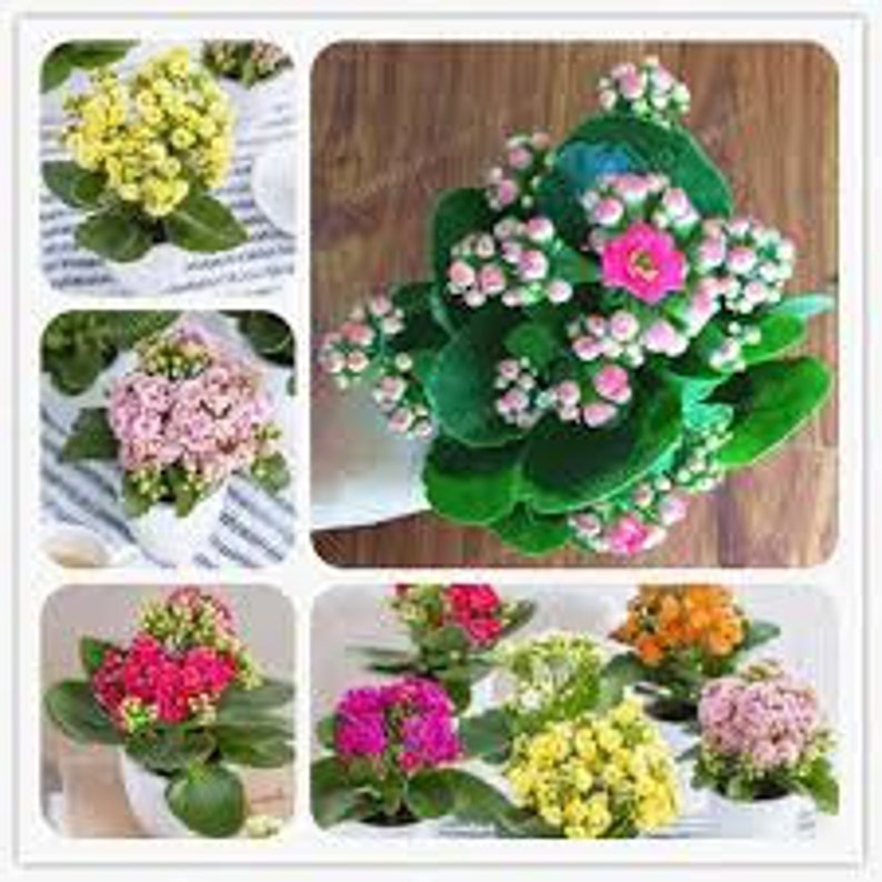 Kalanchoe Bonsai Flower Winter Pot Kalanchoe Bonsai Rare Home Garden Air Purification Indoor Pot Novel Plants 100PCS