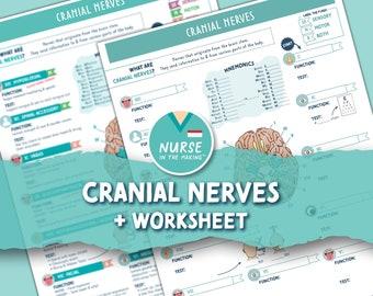 Cranial Nerves + Worksheet   2 Pages   Digital Download