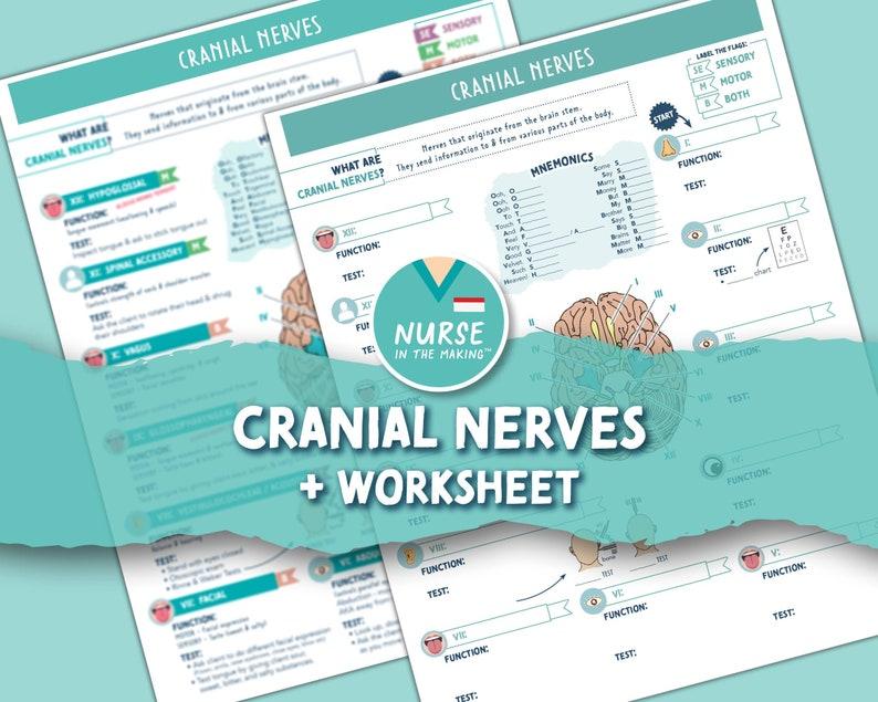 Cranial Nerves  Worksheet  2 Pages  Digital Download image 1