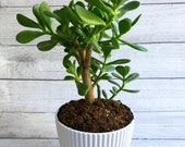 6 quot Pot - Jade Plant - Crassula Ovata - Lucky Money Plant - Money Plant - Live Houseplant - Plant Gift