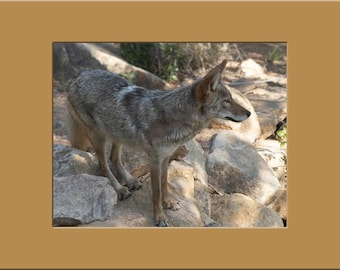Matted Print - 11 x 14 - Coyote Surveys Its' Surroundings