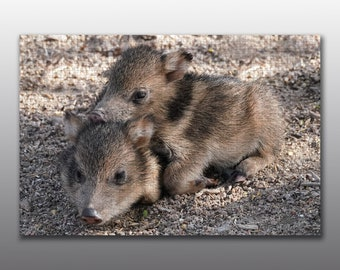Jigsaw Puzzle - Two Javelina Piglings Cuddle During a Morning Rest