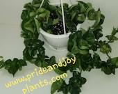 Hoya Hindu Rope Whole Plant Hanging Basket Hoya Carnosa Compacta Actual Inventory Pictures FREE SHIPPING