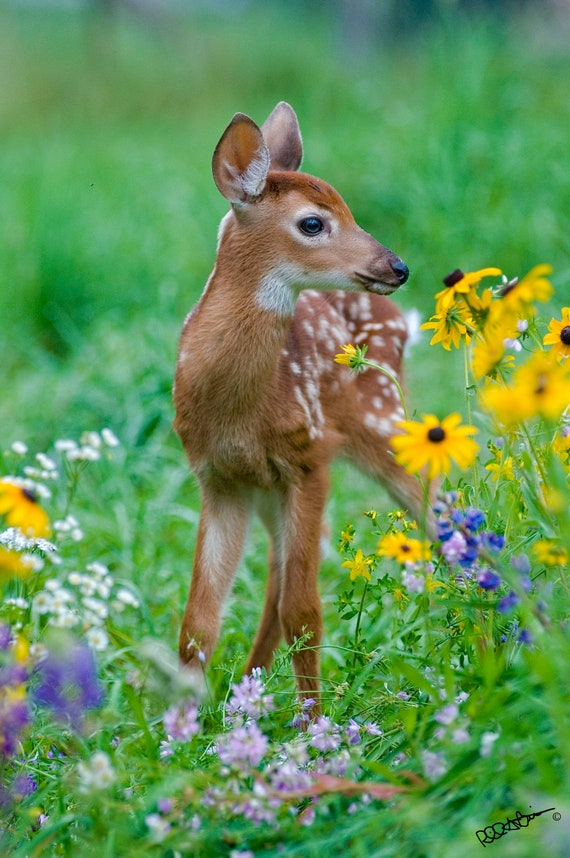 Baby Deer Fawn In Flowers Etsy