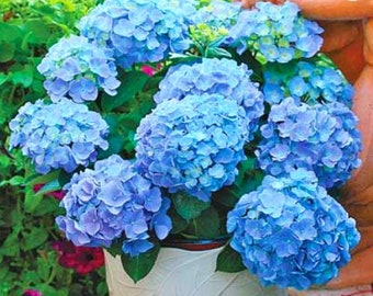 Hydrangea Flower- Multi Colors- 7 Fresh Garden Seeds+ Free Shiping From USA