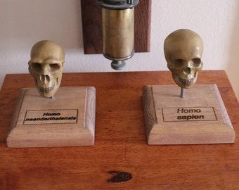 Hominid Skull models