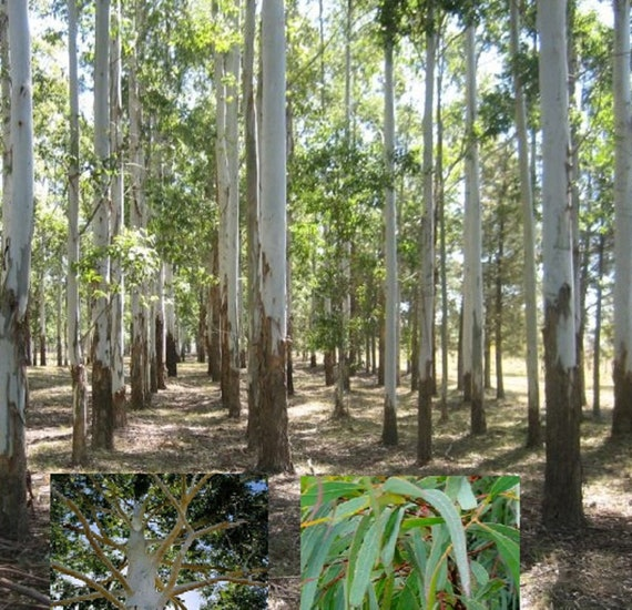 Rose Gum Flooded Gum 100 Seeds Eucalyptus Grandis