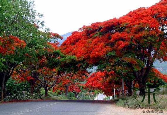 20 Seeds Of Royal Poinciana Gulmohar Delonix Regia Tree Etsy