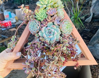 Succulents  diamond succulent planter Succulent Planter Succulent Centerpiece gifts sympathy gift client gifts   succulent arrangement