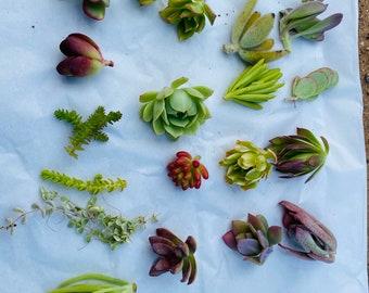 Succulent cuttings 15 pack, succulent planter , succulent arrangements , birthday giftbox, succulents , cuttings , succulent variety pack