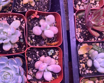 2 inch potted moonstones , moonstone succulents , PACHYPHYTUM OVIFERUM PLANT