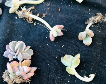 10 pack Succulents,succulent starter kit , succulents , rooted succulent babies , succulent gifts ,succulent cuttings, string of hearts