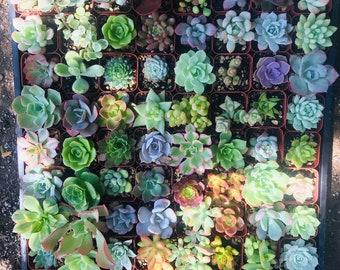 2 inch succulents , succulent party favors , live succulents ,