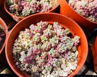 """Sedum dasyphyllum """"Lilac Mound"""" - Rare Succulent, Succulents , Sedums, succulents. 4 inch potted Sedum , Succulent Favors"""