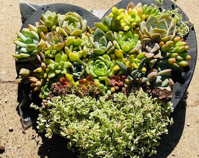 Succulent Heart Planter , Succulent Arrangement
