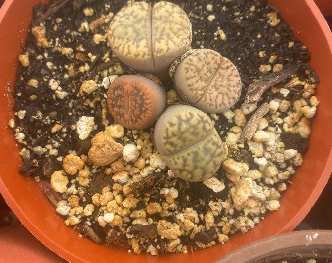 4 inch pot of 4 lithops , Lithops , succulents