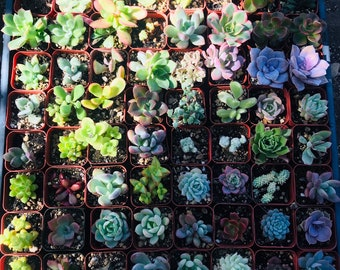 2 In Succulents|party favors|wedding favors|succulent centerpieces |succulent arrangements|succulent gifts|birthday gifts|