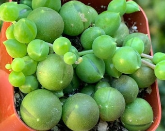 String of Pearls, succulent , plants , gifts, party favors