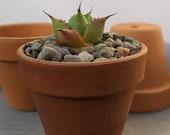 4 quot or 6 quot Terracotta Pots for plants