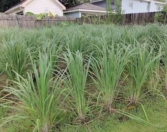 2/5/10 ORGANIC LIVE LEMONGRASS Herb Plant - Rooted Stalks - Cymbopogon Citratus aka Edible Variety