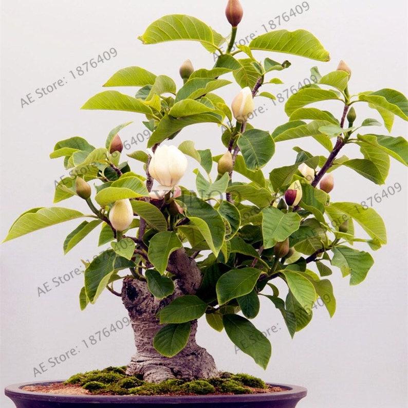 50 Magnolia Tree Seeds Etsy